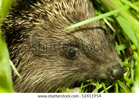 hedgehog head in green grass. Focus on eyes and ear