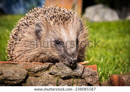 Hedgehog in the garden sitting on wood and sniffing