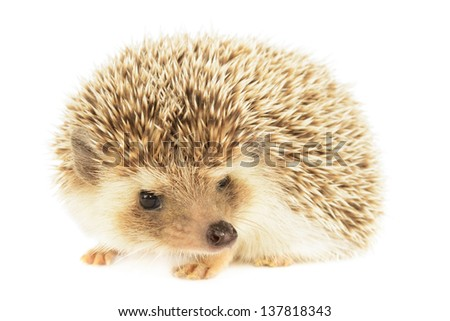 Hedgehog isolated on white background.