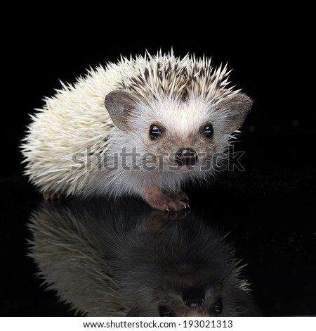 Hedgehog staying in the shiny black table