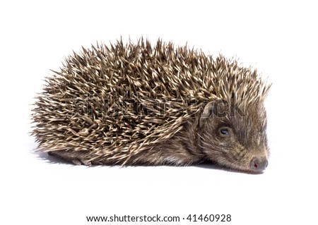 Hedgehog walking in front of white background