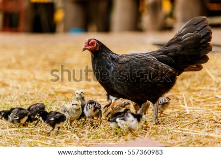 Hen chick rearing in natural environment rural scene