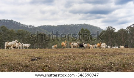 Herd of Australian beef cattle on a farm in rural Queensland