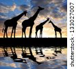 herd of giraffes in the sunset - stock vector