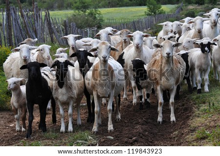 Herd of goats in the mountains of Swartberg South Africa