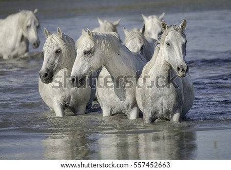 Herd of white horses resting in the water after a run