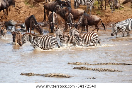 Herd of zebras (African Equids) and Blue Wildebeest (Connochaetes taurinus) crossing the river infested with Crocodiles (Crocodylus niloticus) in nature reserve in South Africa