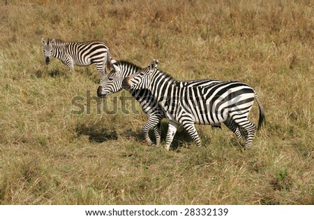 Herd of Zebras beginning the migration to Tanzania
