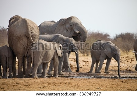 herds of elephants with cubs are pushing at the waterhole, Etosha, Namibia