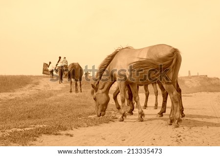 herds of horses grazing in the WuLanBuTong grassland, Inner Mongolia autonomous region, China.