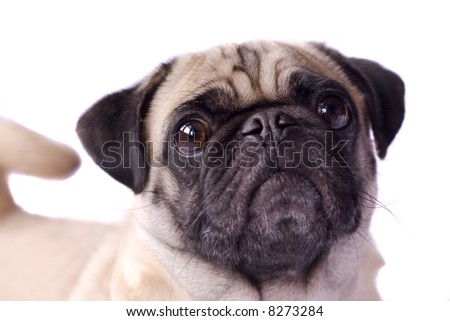 Here is a picture of a pug dog in front of white background