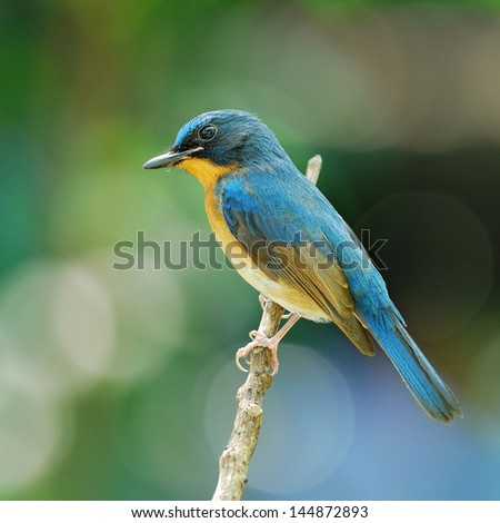 Hill Blue Flycatcher on a branch,Male (Cyornis banyumas)