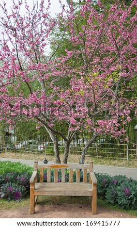 Himalayan Cherry (Prunus cerasoides) blooming at Doi Angkhang, Thailand. In Thailand we call 'Nang Paya Sua Krong' it mean 'Queen of royal tiger'