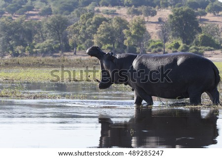 Hippo in the Chobe River area at Kasane, Botswana