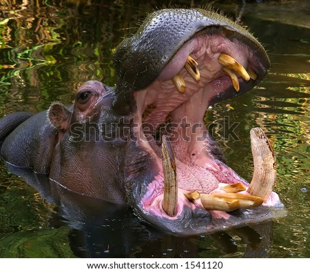 Hippo Open Mouth 57