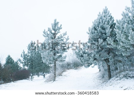 hoar frost covered pine trees at winter