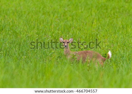 Hog deer (Hyelaphus porcinus)  stand alone on green grass at Phu Khieo Wildlife Sanctuary.Chaiyaphum Province,Thailand.