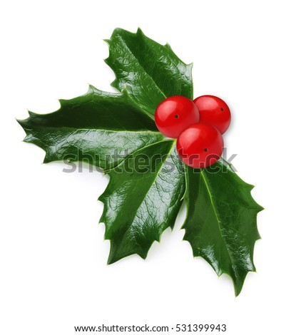 Holly berry leaves isolated