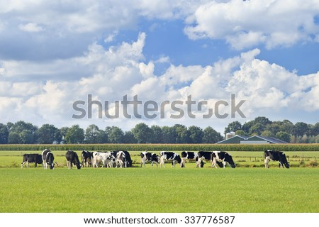Holstein-Friesian cattle in a green meadow, cornfield and farm on background, blue sky and dramatic cloud, The Netherlands.