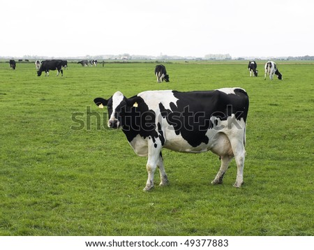 Holstein-Frisian cow standing in meadow