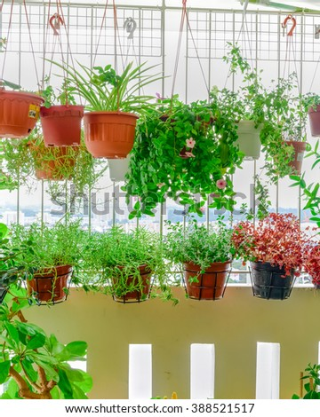 Home grown flowers and herbs in the hanging pots at balcony at Ang Mo Kio area. Growing a garden in a sharing apartments balcony/corridor is popular in Singapore. Urban farm concept. Panoramic style.