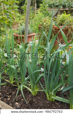 Home Grown Leeks (Allium ampeloprasum) Growing on an Allotment in a Vegetable Garden in Devon, England, UK