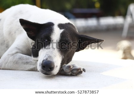 homeless thai dog