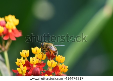 honey bee collecting nectar from beautiful milkweed plant