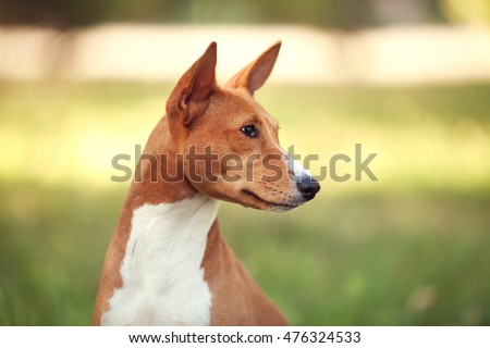 Horizontal portrait of one beautiful dog of basenji breed with short hair of red and white color outside with green background on summer sunny day.