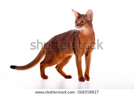 Horizontal portrait of one domestic cat of Abyssinian breed with yellow eyes and red short hair walking on isolated background