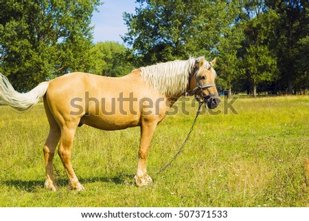 Horse in field. Light brown horse Palomino with white mane stands on meadow near blue lake