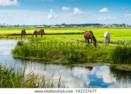 Horses drinking and eating on a river bank. The Netherlands.