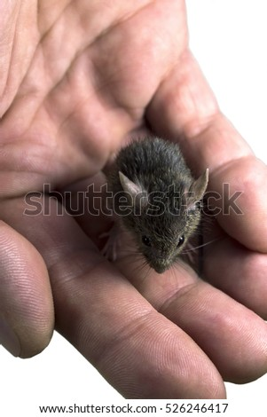 House mouse on the palm