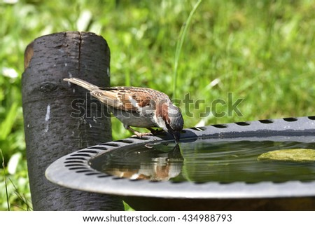 House sparrow in a bird bath