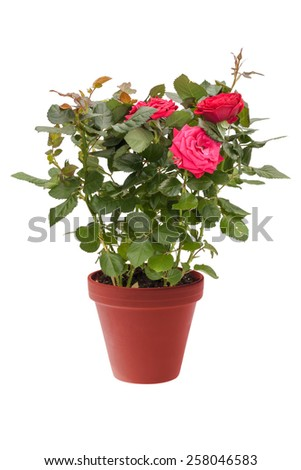 Houseplant mini rose with red flowers in a brown pot isolated on white background