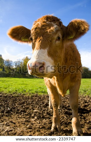 How can you not smile at this cute calf. California cows have nothing on Swiss Cows.