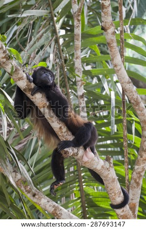 Howler Monkey (Alouatta palliate) rests in tree high in the rainforest jungle.