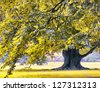 Huge oak tree in the park - stock photo
