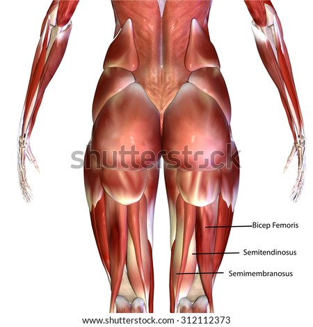 human body muscles stock illustration 312112319 - shutterstock, Muscles