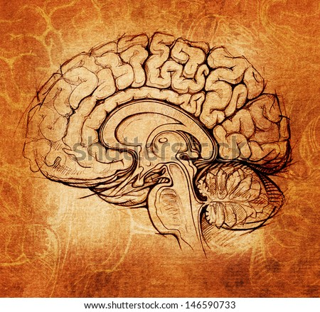 human brain sagittal view medical sketchy illustration, da Vinci style