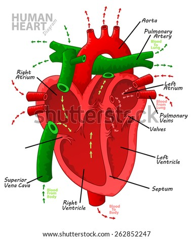 Lymph Node Lymph Gland Schematic Diagram Stock Vector ...
