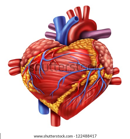 Human heart in the shape of a love symbol using the organ from the body anatomy for loving healthy living isolated on white as a medical health care symbol of an inner cardiovascular organ.