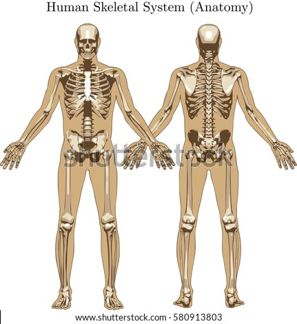 skeleton for 10 school setworks Muscular and skeletal systems table of contents types of skeletal systems | functions of muscles and bones the axial and appendicular skeletons.
