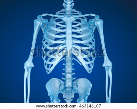 Human skeleton, breast chest 3d render