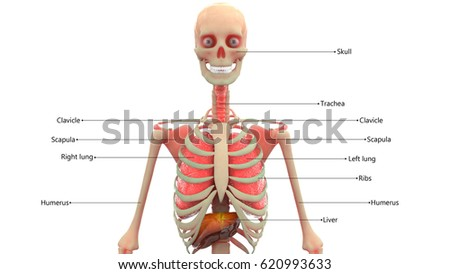 human skeleton organs anatomy 3d stock illustration 620993636, Skeleton