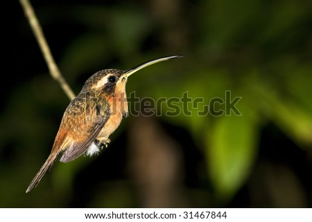 humming bird at night on a branch in the Bolivian rainforest
