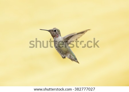 Hummingbird In Flight Isolated