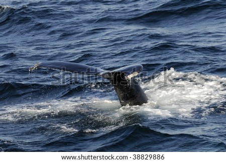 Humpback Whale diving into the ocean at Stellwagen Bank Marine Sanctuary off Boston.  They are known as Megaptera novaeangliae.