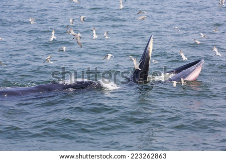 Humpback whale eating fish.