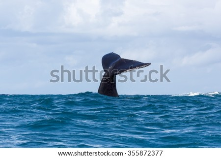Humpback whale is showing its tail. Madagascar. The water area of the island of St. Mary.